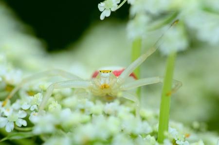 goldenrod spider: Goldenrod Crab Spider arroccato su un fiore in attesa di prede. Archivio Fotografico