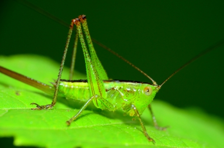 A katydid nymph perched on a green plant leaf. Stock fotó
