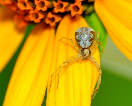 crabspider: A macro closeup of a Crab Spider perched on a flower. Stock Photo