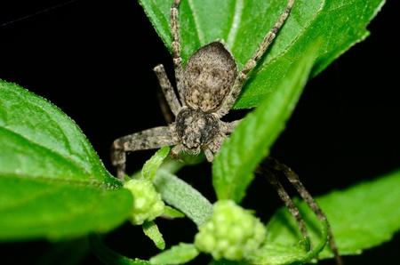 crabspider: A macro closeup of a Crab Spider perched on a green leaf.
