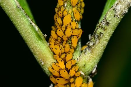 Orange Milkweed aphids on a milkweed stem. Фото со стока
