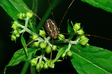 longlegs: Harvestmen Spider perched on a green plant leaf.