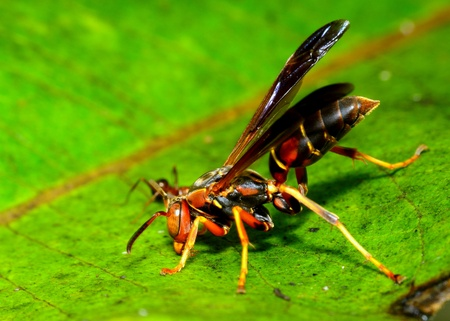 paper wasp: Paper Wasp perched on a green plant leaf. Stock Photo