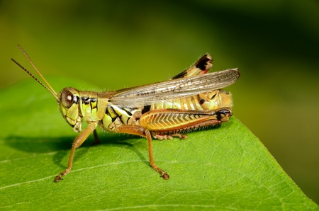 arthropod: A Grasshopper perched on a green leaf.