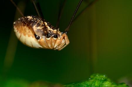harvestmen: Harvestmen Spider perched on a green plant leaf.