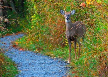 Whitetail Deer Spike Buck standing on the edge of a nature trail. Stock Photo