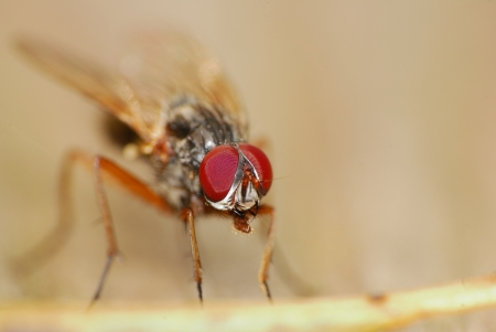 A Fly Macro shot of its head and eyes.