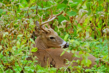 Whitetail Deer Buck bedded down in a thicket.