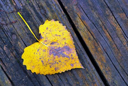 cottonwood: An autumn Cottonwood Leaf laying on a wood board. Stock Photo