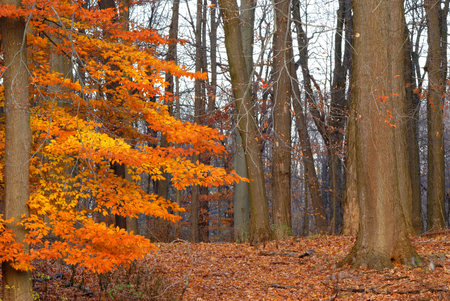 American Beech Tree nature image in late fall early winter in western New York state region. photo