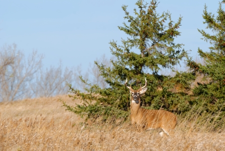 whitetail deer: Whitetail Deer Buck standing in a field.