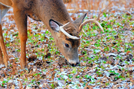 whitetail deer: A Whitetail Deer Buck in a woods. Stock Photo