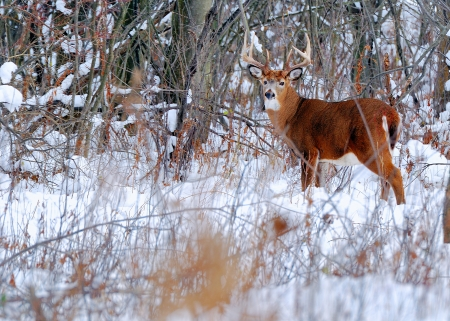 whitetail deer: Whitetail Deer Buck standing in a woods.