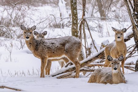 A group of whitetail deer in the winter snow.
