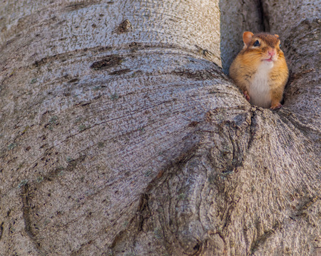 A Chipmunk perched in a hole on a tree trunk. photo