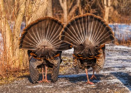 strutting: Strutting male wild turkey displaying in the spring mating season. Stock Photo