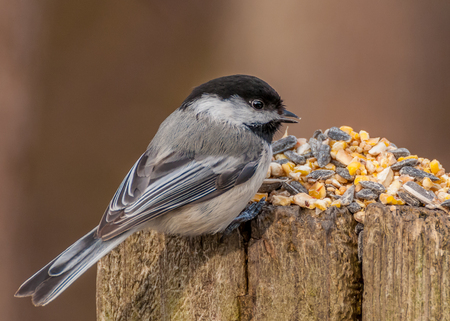 Black-capped Chickadee perched on a post with bird seed.