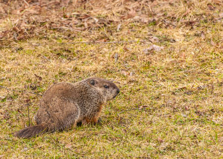 sitting on the ground: A ground hog sitting in the grass.