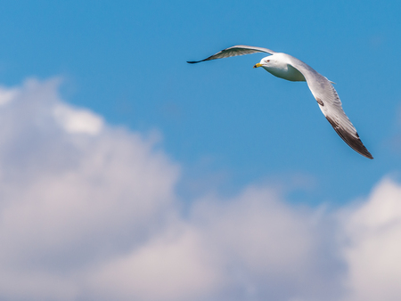 A ring-billed seagull in flight against a blue sky.