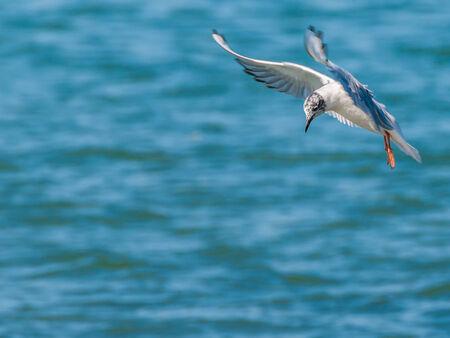Gabbiano di Bonaparte in un volo lungo un fiume per immersioni pesciolini. Archivio Fotografico - 27610815