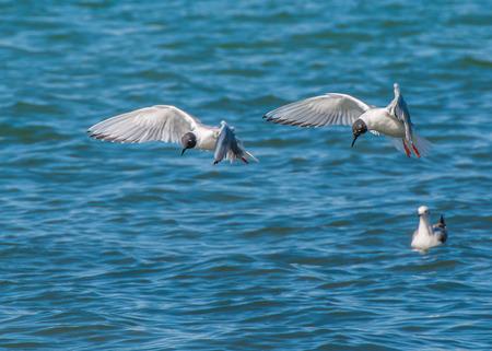 Gabbiano di un Bonaparte in volo lungo un fiume per immersioni pesciolini. Archivio Fotografico - 27677913