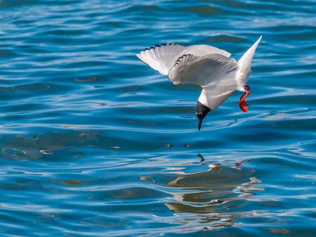 Gabbiano di un Bonaparte in volo lungo un fiume per immersioni pesciolini. Archivio Fotografico - 27677914