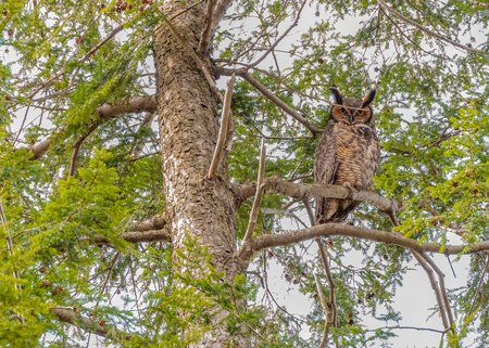 Great Horned Owl perched on a hemlock branch. Фото со стока