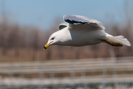 A ring-billed seagull in flight looking for food.