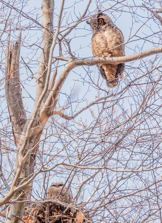 Great Horned Owl perched on a branch looking down on a chick in a nest.