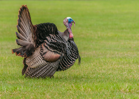 tom: Wild turkey strutting for a mate in the spring mating season.