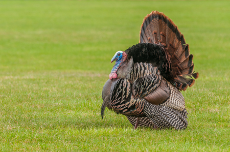 strutting: Wild turkey strutting for a mate in the spring mating season.