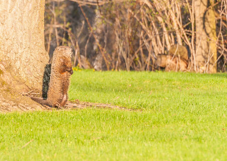 burrow: A ground hog coming out of its burrow in early spring. Stock Photo
