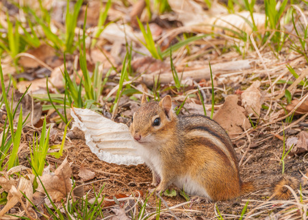 A Chipmunk perched in the grass looking at the camera. photo