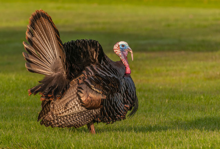 tom turkey: Wild turkey strutting for a mate in the spring mating season.