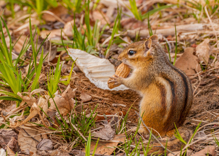 A Chipmunk perched on the ground stuffing his cheeks with a peanut.