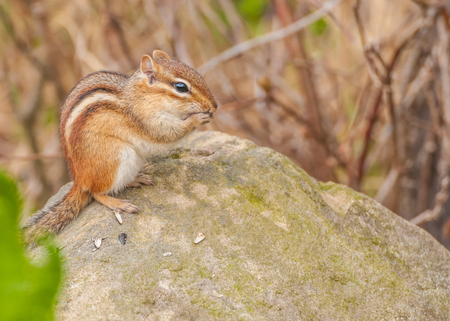 A Chipmunk perched on a rock eating bird seed. photo