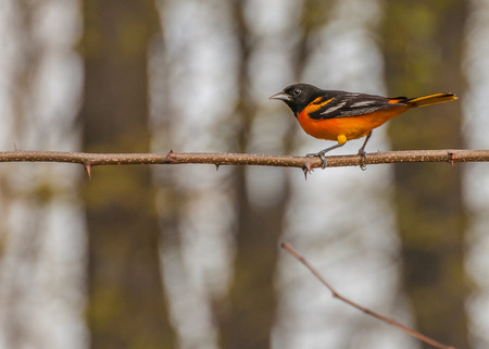 oriole:  Baltimore Oriole perched on a tree branch. Stock Photo
