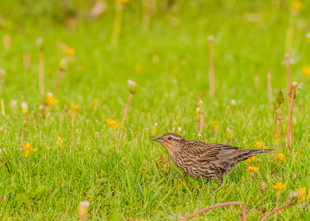 Female Red-winged Blackird perched in the grass. photo