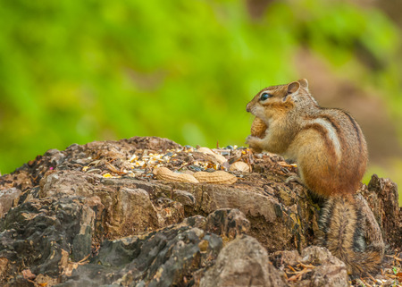 A Chipmunk perched on a tree stump with bird seed and peanuts. Imagens