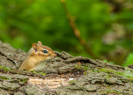 A Chipmunk perched in a log  looking right. photo
