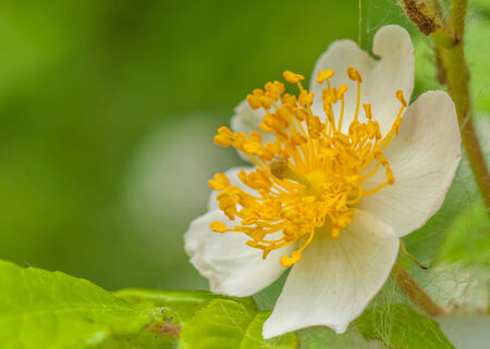 A macro closeup of a Raspberry Blossom in the spring.