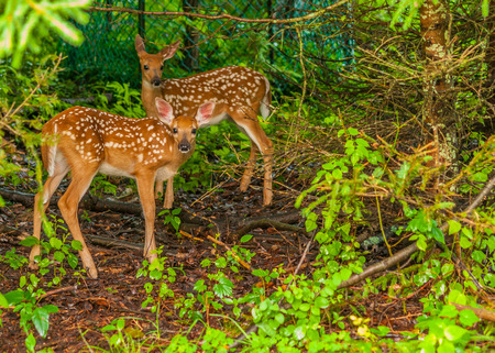 Whitetail Deer Fawn standing in the woods. photo