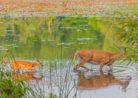 whitetail deer: Whitetail Deer Fawn walking in a swamp after its mother.