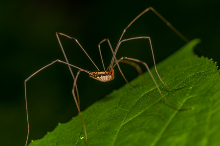 longlegs: Harvestmen Spider perched on a green leaf. Stock Photo