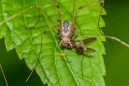 Harvestmen Spider perched on a green leaf with prey. photo