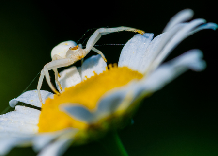 goldenrod spider: Goldenrod Crab Spider perched on a plant waiting for prey.