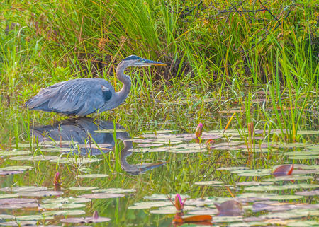 Great Blue Heron standing in a swamp. photo