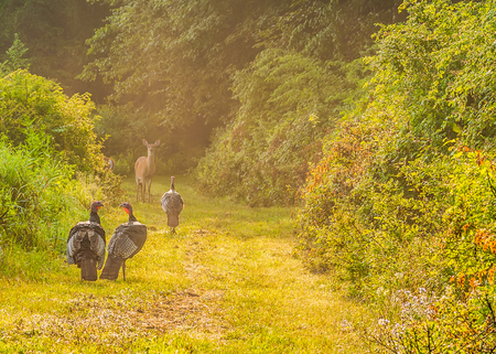 strutting: Whitetail deer does and turkeys standing in a nature trail. Stock Photo