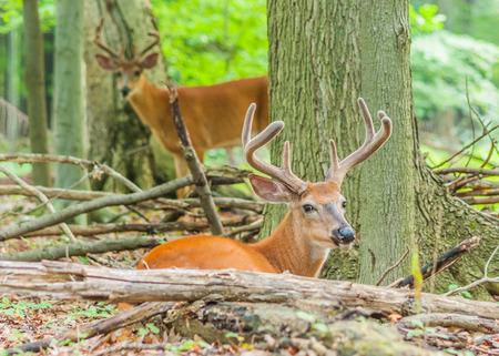 Whitetail Deer Buck In Velvet bedded down in the woods. photo