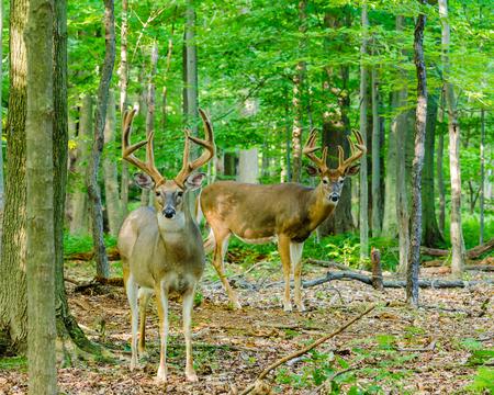 Whitetail Deer Buck In Velvet standing in the woods.